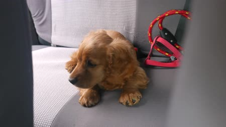 воротник : Cocker spaniel puppy in collar laying on back seat of the car