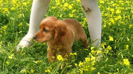 spanyel : Cocker Spaniel puppy standing between childs legs in the field of beautifully blooming yellow spring flowers
