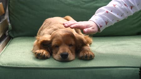 愛撫 : Cocker spaniel puppy sweetly sleeping on the sofa, childs hand caresses it