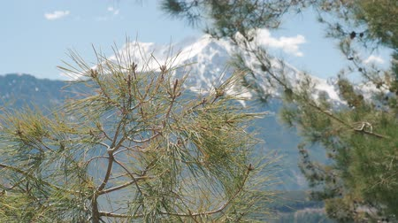 turk : Beautiful natural background. Pine tree branches in focus and winter snowy Tahtali mountain near Kemer Antalya in Turkey on the background out of focus