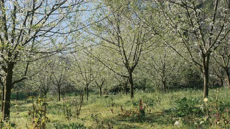 prune : Beautiful spring background of nature. Blossoming plum trees garden in the morning Vidéos Libres De Droits