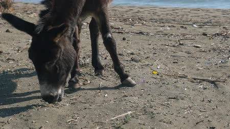 phaselis : Closeup view of donkey eating grass near a beach in Phaselis Turkey Stock Footage