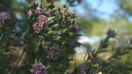 anatolia : Wild bush small violet flowers with lilac petals and lily smell in the mediterranean forest Antalya province