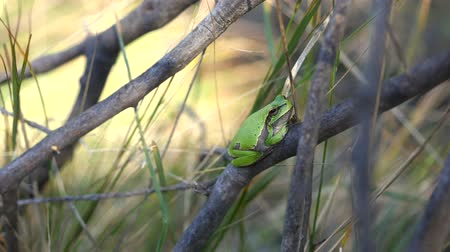 european tree frog : European tree frog, Hyla arborea, sitting on grass straw with clear green background. Nice green amphibian in nature habitat. Wild frog on meadow near the sea. Stock Footage