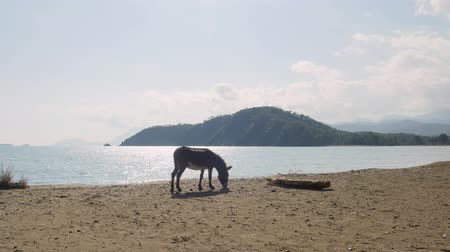 koń : Donkey eating grass near a beach in Phaselis Turkey