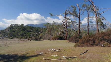 picturesque view : Windfall in forest. Storm damage. Winter mountain Tahtali picturesque view from Phaselis, Kemer, Turkey Stock Footage