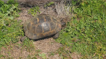 stehno : African spurred tortoise also known as sulcata tortoise, land turtle walking on the grass Dostupné videozáznamy