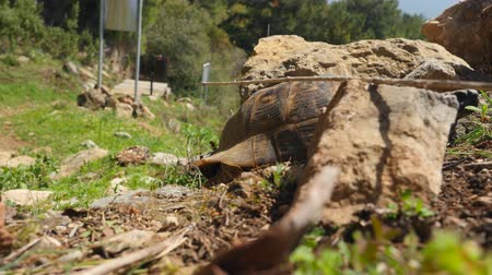 kétéltű : African spurred tortoise also known as sulcata tortoise, land turtle walking on the grass Stock mozgókép