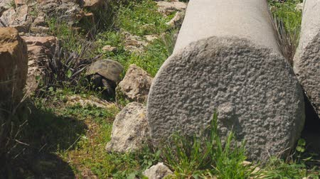 faház : African spurred tortoise also known as sulcata tortoise, land turtle walking on the grass between ancient greek column ruins, national park in Alanya, Turkey