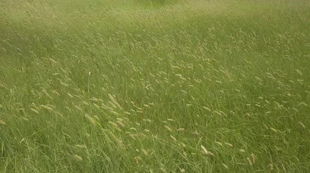 symbolismus : Green ears of wheat sway on the field in the wind. Agriculture and freedom concept