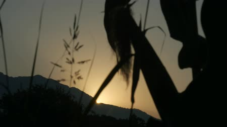 toló : Corn on the stalk in the field before harvest and sway in the wind