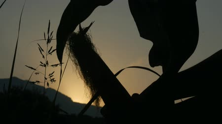 kukoricacső : Silhouette of young womans hand picking corn in the field by hand. Corn on the stalk in the field before harvest.