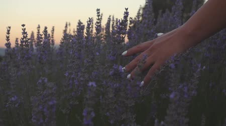 fragrances : Slow motion view of a hand of a young woman tenderly holds the lavender flowers the backdrop summer sunset. Stock Footage