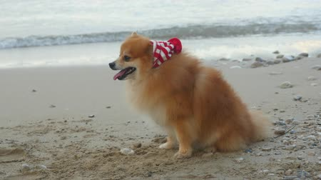 Cute Pomeranian Spitz in Santa hat sitting near the sea. New Year holiday concept.
