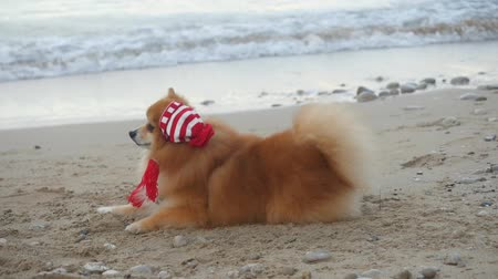 Cute Pomeranian Spitz in Santa hat sitting near the sea. New Year holiday concept. Slow motion