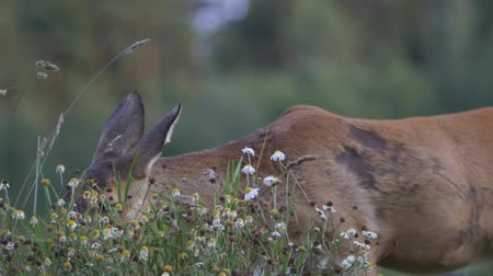 deer : Closeup of young doe eating grass on pasture of hills nature, wildlife animal concept