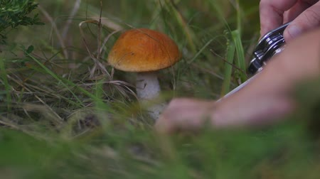 finlandiya : Closeup of mushroom picker cuts orange-cap boletus mushroom with a knife in the forest. Stok Video