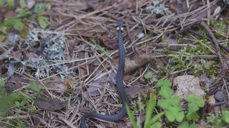necked : Northern ring-necked snake (Diadophis punctatus Arnyi) moving through the woods in wildlife