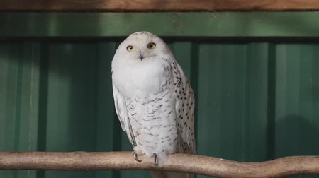 jardim zoológico : Cute snowy Owl, Bubo Scandiacus, sitting in the cage in the zoo. Stock Footage