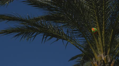 beach volleyball : Closeup of volleyball ball stuck in the date palm tree in windy weather Stock Footage