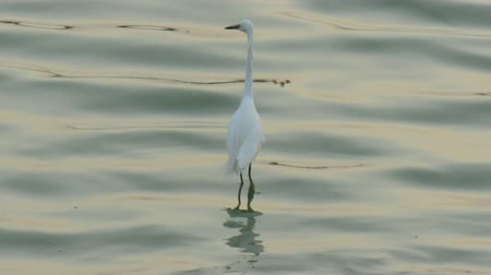 stěhovavý : The eastern great egret (Ardea alba modesta), a white heron in the genus Ardea, is a subspecies of the great egret (A. alba). The eastern great egret has a wide distribution all over Asia and Oceania.
