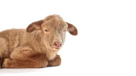 cordeiro : Isolated baby lamb lying