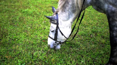 breeding season : adult white horse rips grass on the field in summer