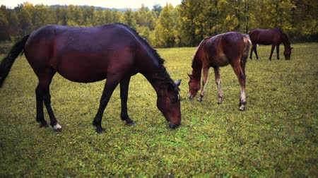 stallion : three brown horses stand in a row, graze on the field, eat grass in autumn