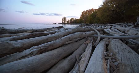 driftwood : Many old dried logs lie on the seashore and washed by the waves. Pale tree trunks at sunset