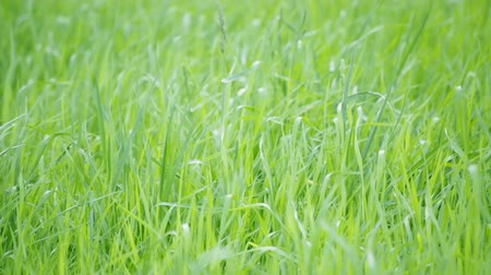 otlak : loop of green grass in wind with shallow depth of field Stok Video