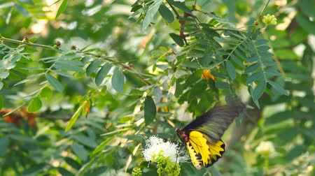 cor : Golden Birdwing butterfly drinking nectar bright sunlight [HD]