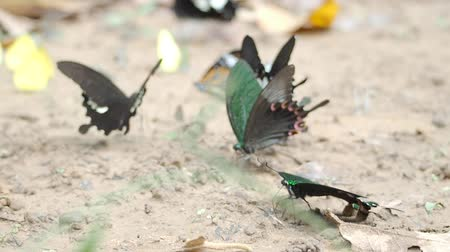 насекомые : butterflies eat mineral on the ground in natural outdoor Стоковые видеозаписи