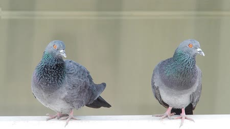 kismadár : domestic pigeon actions on window of building background