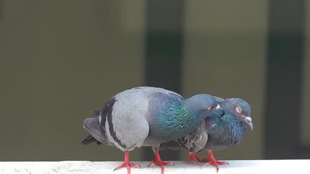 birdie : domestic pigeon actions on window of building background