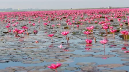 leknín : aquatic plant in the pond, red lotus blooming on the water surface of the lake, 60p