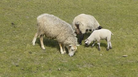 koyun : Sheep with lambs grazing in a field