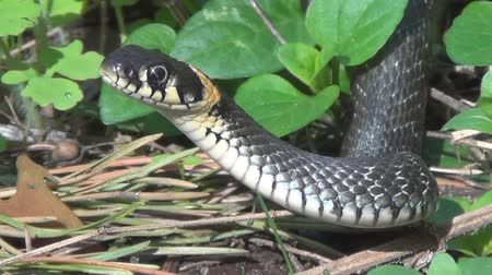 yılan : The grass-snake Stok Video