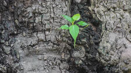fırsat : A beautiful new plant growing on old tree, Indian botanical garden, Howrah, West Bengal, India Stok Video