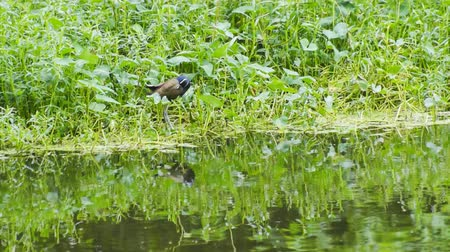 indicus : Bronze-winged Jacana Bird, Metopidius indicus, cleaning self,  beside bush waterside