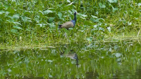 indicus : Bronze-winged Jacana Bird, Metopidius indicus, flying off from bush waterside