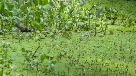 indicus : Bronze-winged Jacana Bird, Metopidius indicus, mother bird eating out with hatchlings,  beside green leaves, stcok footage Stock Footage
