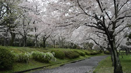 forrado : cherry blossoms in the park, petals scatter as if snow falls