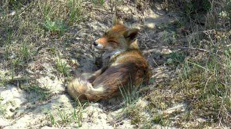 territorial : A red fox is resting in a hollow. Stock Footage