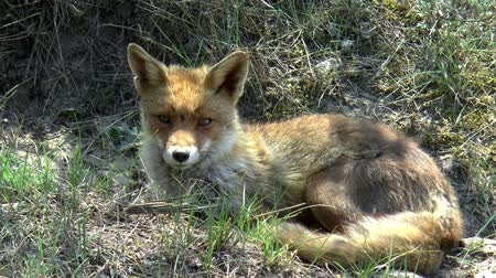 territorial : A red fox lies in the dunes and looks around.