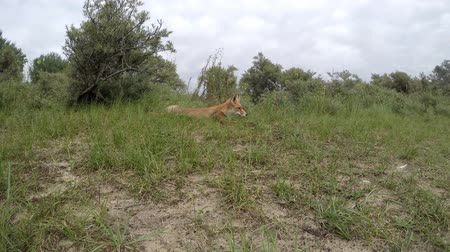 predatório : Lazy red fox stands up and walks away. Vídeos