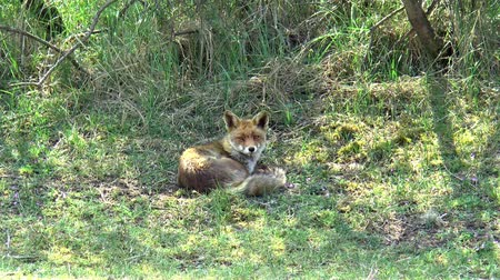masožravý : A red fox is lying in the grass and looking around.