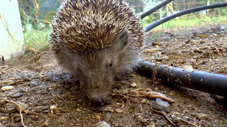 dikenli : A hedgehog is sitting still in the garden. Stok Video