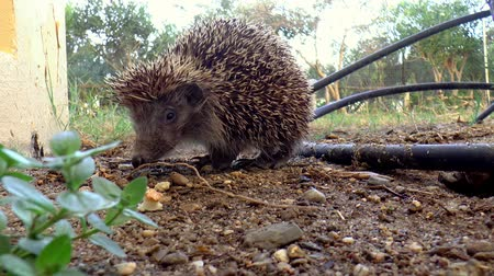spiny : A hedgehog prowling in the garden.