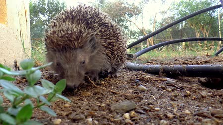spiny : A hedgehog eating a little piece of bread.