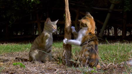 üç renkli : Two calico cats frolic and scratch each other in the garden.